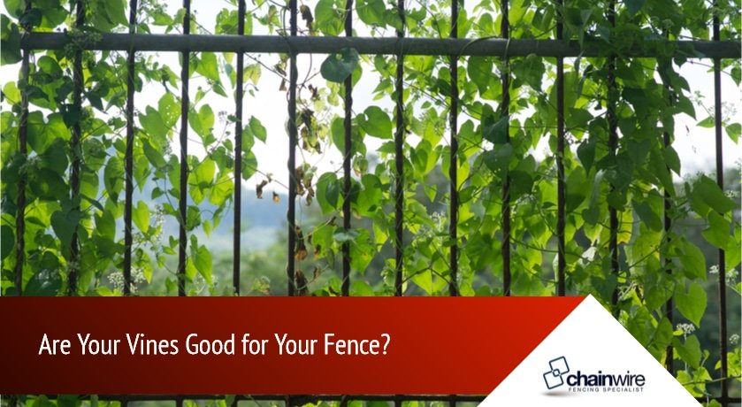 Are Your Vines Good for Your Fence
