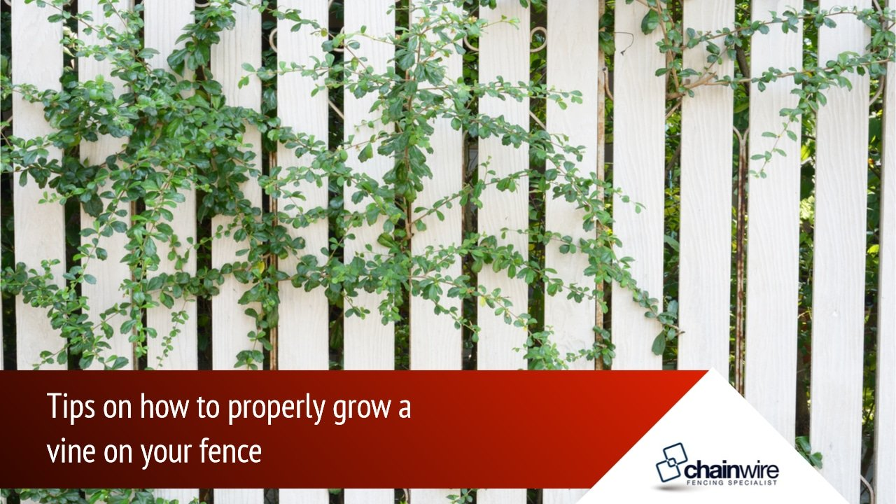 Are Your Vines Good for Your Fence? -